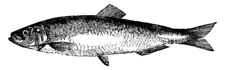 Sprat is six inches long, vintage line drawing or engraving illustration. Ilustração