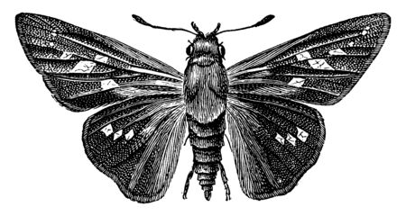 Pamphila Ethlius in which fore wings are much more pointed than in the other, vintage line drawing or engraving illustration.