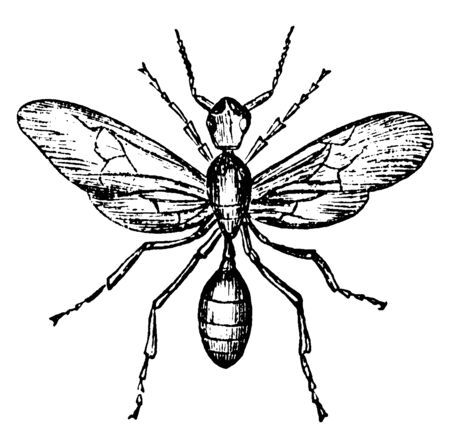 Red Ant which is produced in great numbers at particular times of the year, vintage line drawing or engraving illustration. Çizim