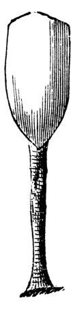 Lingula have tongue shaped shells with a long fleshy stalk, vintage line drawing or engraving illustration. Illustration