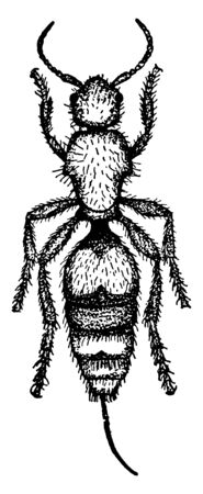 Velvet Ant which is also known as cow killers, vintage line drawing or engraving illustration.