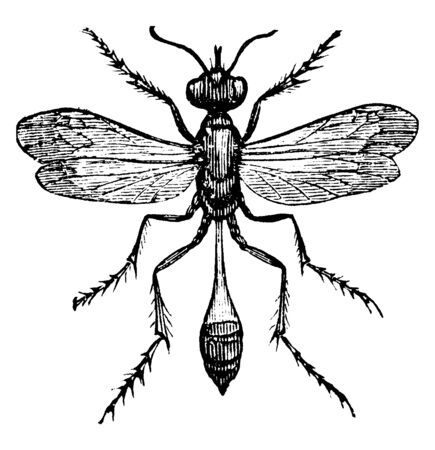 Sand Wasp which is long Bodied fossorial aculeate hymenopterous insects, vintage line drawing or engraving illustration.