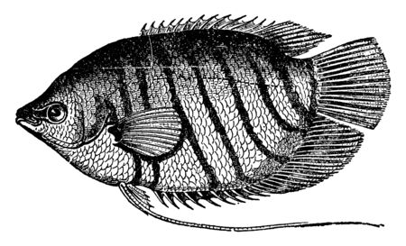 Goramy is a species of large gourami native to Southeast Asia, vintage line drawing or engraving illustration.