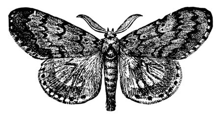 Gypsy Moth Male can be identified by the inverted V shape, vintage line drawing or engraving illustration.