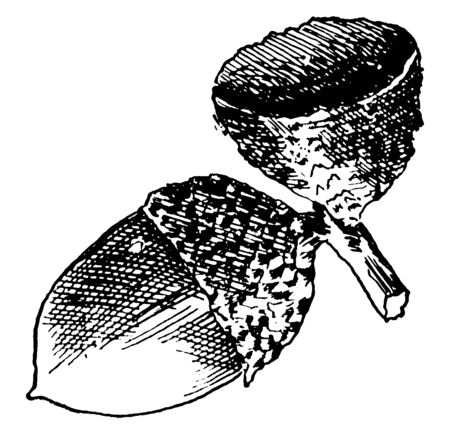 This image shows the acorns of Swamp White Oak which are Quercus platanoides, vintage line drawing or engraving illustration.