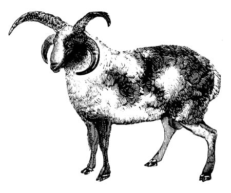 Rams members of the order Artiodactyla the even toed ungulates, vintage line drawing or engraving illustration.