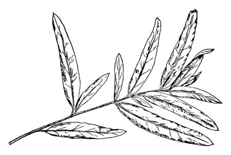 A picture of Branch of Willow Oak leaf which having 2 to 8 inches long leaves, simple and entire. which is a unique bit of willow oak tree information, vintage line drawing or engraving illustration.