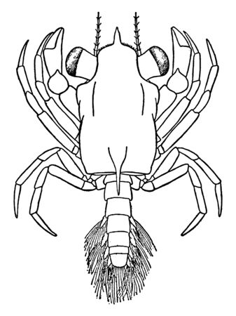Megalop is native to the Atlantic, vintage line drawing or engraving illustration. Иллюстрация