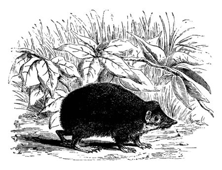 Tendrac is a small often spiny insectivorous mammal of Madagascar, vintage line drawing or engraving illustration. Ilustrace