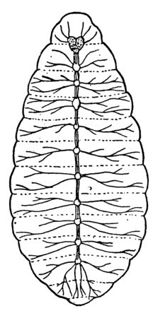 This illustration represents Nerve System of Larva, vintage line drawing or engraving illustration.