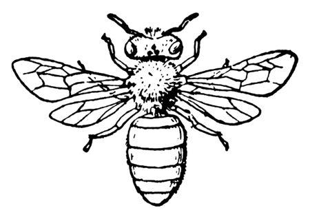 Honey Bee is of European origin, vintage line drawing or engraving illustration. Illustration