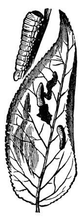 Pear Slug larva of Eriocampa cerasi species, vintage line drawing or engraving illustration.
