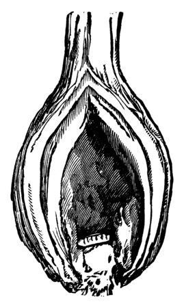 Onion Maggot is the most damaging insect pest of onions throughout the northern areas, vintage line drawing or engraving illustration.