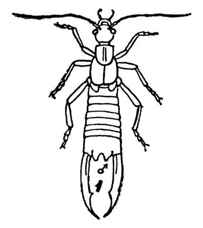 Earwig make up the insect order Dermaptera, vintage line drawing or engraving illustration.