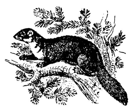 Pine Marten in Anglophone Europe and less commonly also known as pineten, vintage line drawing or engraving illustration.
