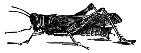 Atlantis Grasshopper which includes crickets and their allies in the other suborder Ensifera, vintage line drawing or engraving illustration. Archivio Fotografico - 133037697