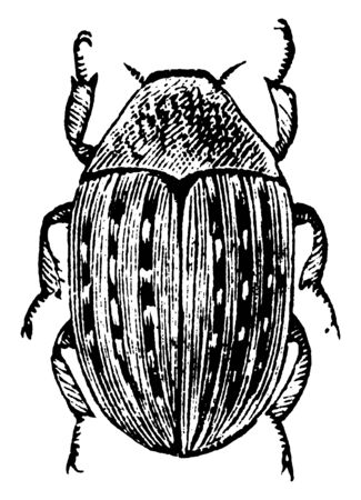Pill Beetle which can roll itself into a ball like a pill, vintage line drawing or engraving illustration. Foto de archivo - 133039037