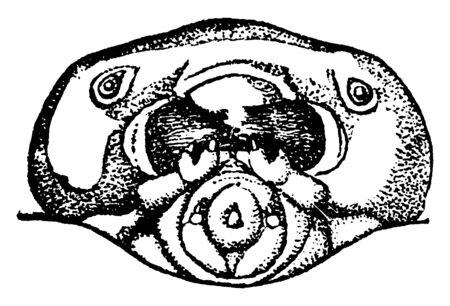 Pigeon Horntail is Tremex columba, vintage line drawing or engraving illustration. Çizim