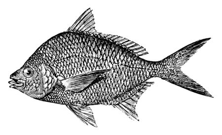 Indian Pompano with a high rounded back, vintage line drawing or engraving illustration. Ilustrace