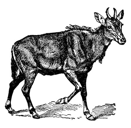 Nylghau is the largest of the few true antelopes found in India, vintage line drawing or engraving illustration. Ilustração