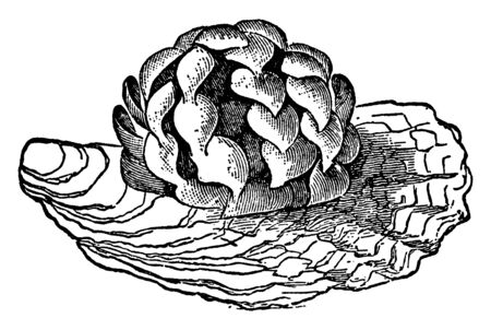 Egg of Common Whelk is often dredged for bait or as food for the poor, vintage line drawing or engraving illustration.