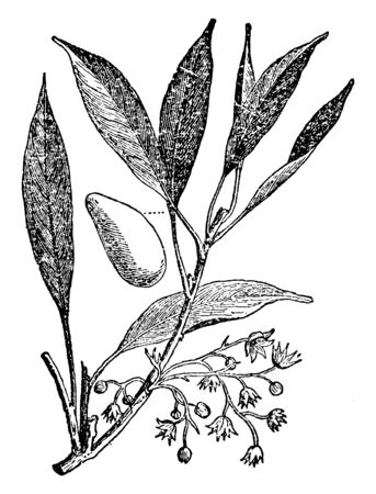 A branch of Kola tree which is a tree of the cocoa family, vintage line drawing or engraving illustration.