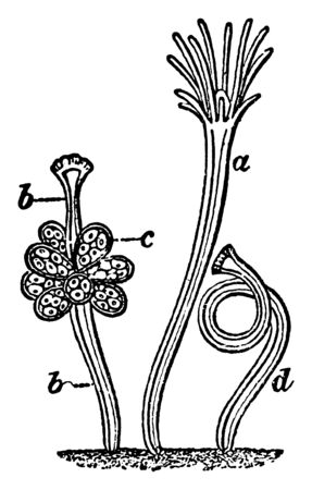 Hydractinia which is showing four forms of persons, vintage line drawing or engraving illustration. Illusztráció