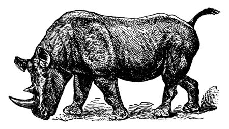 Rhinoceros Bicornis with two well marked species peculiar to Africa, vintage line drawing or engraving illustration.