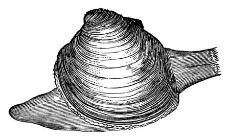 Quahog is the large round edible clam of the Atlantic Coast of the United States, vintage line drawing or engraving illustration.