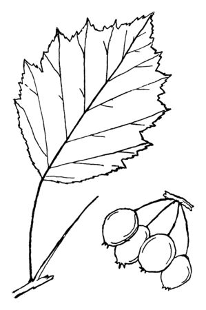 This is the Genus Crataegus leaf. Its has fruits like berry. The edge of leaf is sharp-toothed. This sector of the leaf has thinly lining, vintage line drawing or engraving illustration. Ilustração