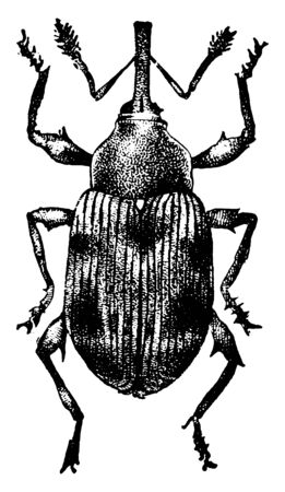 Strawberry Weevil has prevented the development of more than a half crop of berries in New Jersey, vintage line drawing or engraving illustration.