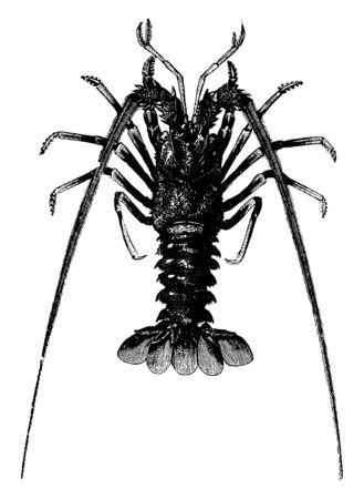 Spiny lobster was in great esteem among the ancient Romans, vintage line drawing or engraving illustration.