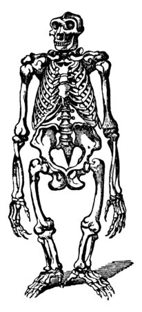 Gorilla Skeleton is divided into two species and it is not a natural posture for a Gorilla, vintage line drawing or engraving illustration. 일러스트