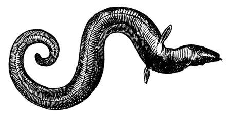 Eel has a long snakelike body, vintage line drawing or engraving illustration. Ilustração