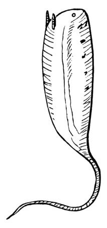 Rat Tailed Maggot is the larvae of certain species of hoverflies belonging to the tribes Eristalini, vintage line drawing or engraving illustration. Illustration