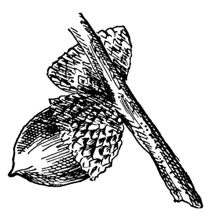 In this frame there are nuts, they are at the bottom of the stem. The other nuts' cover is nearer to its neighbours, vintage line drawing or engraving illustration.