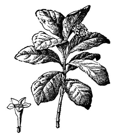 Ipecac is a small tropical plant that is native to the humid forests of Bolivia and Brazil. Much of the root crop continues to be harvested from the wild, particularly in South America, vintage line drawing or engraving illustration. Иллюстрация