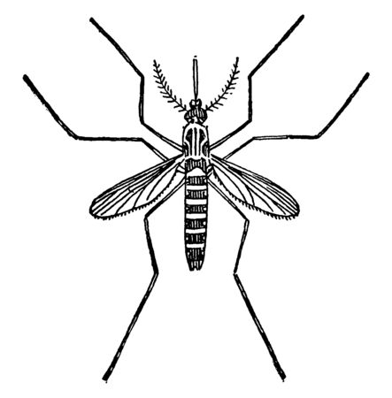 Stegomyia is a genus of mosquitoes including the yellow fever mosquito, vintage line drawing or engraving illustration.