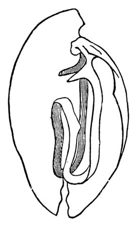 Valves may consist of a sphincter muscle or two or three membranous flaps or folds, vintage line drawing or engraving illustration. Illustration