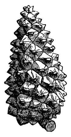 It is conical fruit of Pine tree. Cone contains the reproductive structures, vintage line drawing or engraving illustration.