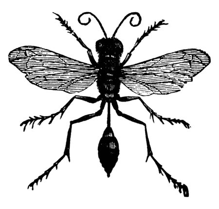 Mud Dauber plaster their nests against out houses, vintage line drawing or engraving illustration. 일러스트