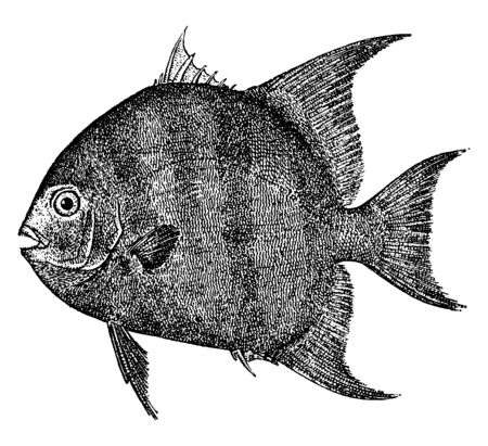 Moonfish commonly found in the Pacific ocean, vintage line drawing or engraving illustration.