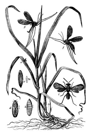 Hessian Fly of the Cecidomyia destructor species, vintage line drawing or engraving illustration.