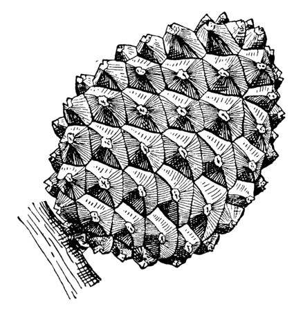 Stone pine cone with a rigid look, vintage line drawing or engraving illustration.