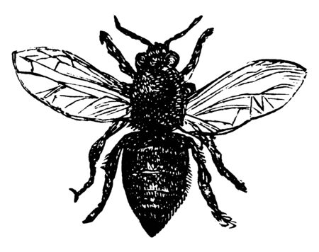 Worker Bee egg hatches after three days into a larva, vintage line drawing or engraving illustration.