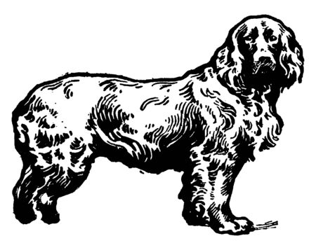 Field Spaniel is a medium sized breed dog of the spaniel type, vintage line drawing or engraving illustration.