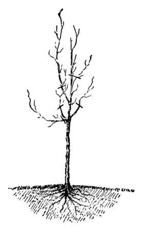 A tree after shedding of leaves, vintage line drawing or engraving illustration.