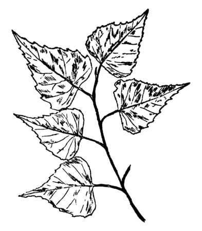 Leaves are very triangular in shape, doubly saw-toothed and have a pointed tip. He stalks are slender and have black gland-dots on them. The bottom with small bunches of hair present, vintage line dra 일러스트