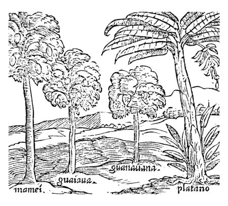 A sketch of different trees which includes Mamei, Guaiana, Guanauana, and Platano, vintage line drawing or engraving illustration. Ilustrace