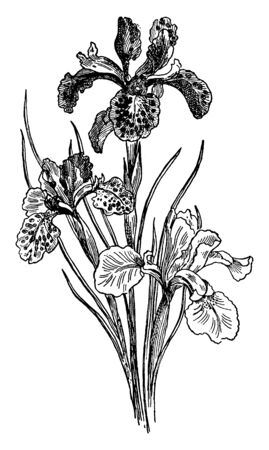 Flowers Of blue flag Iris are usually light to deep blue (purple and violet are not uncommon) and bloom during May to July, vintage line drawing or engraving illustration. 向量圖像